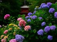 岩船寺紫陽花と三重塔.jpg
