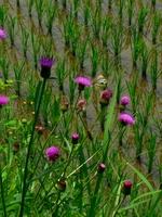 畦の薊.jpg